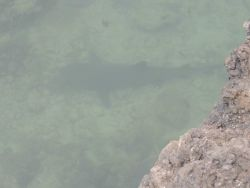 A white-tip shark seen in a narrow channel coming from the sea. Photo