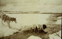 Spring reconnaissance with pack-dogs after leaving the railroad at Cantwell Photo