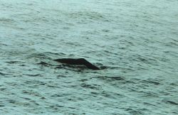 Sperm whale surfacing in the Gulf of Mexico. Photo