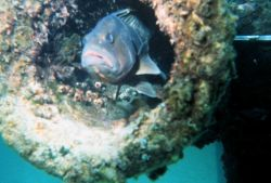 A small grouper looks glumly at divers installing tide gauge Image