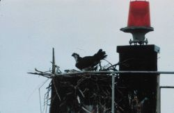 An osprey guarding its nest on a Coast Guard navigation aid. Photo