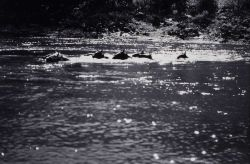 Swimming the horses across the Salmon River Photo