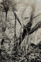 Nearly impenetrable trees and vines confronted Coast Surveyors in many areas. Photo