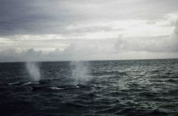 Humpback whales off Cape Cod. Photo