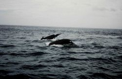 Humpback whales off Cape Cod. Photo