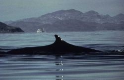 Humpback whale inspecting hydrographic operations in SE Alaska. Photo