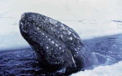 Gray whale trapped in the ice in the Bering Sea Photo
