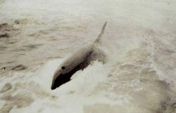 Killer whale in the Gulf of Alaska Photo