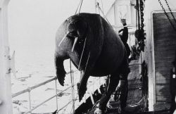 Walrus being brought aboard ship for study and dissection. Photo