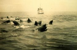 A herd of sea lions (Eumetopias jubatus) disputes the passage of the LESTER JONES. Photo