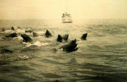 A herd of sea lions (Eumetopias jubatus) disputes the passage of the LESTER JONES. Photo