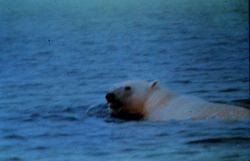 Polar bear swimming in Norwegian Sea Photo