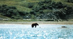 Alaska brown bear on tide flats. Photo