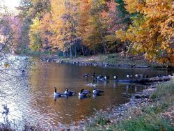 Canada geese and fall colors in a quiet cove on Clopper Lake. Photo