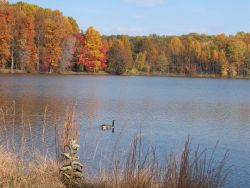 A lone Canada goose cruising along Clopper Lake with fall colors on the far shore. Photo