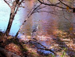 An almost perfectly camouflaged great blue heron wading in the shallows of Clopper Lake on an autumn afternoon. Photo