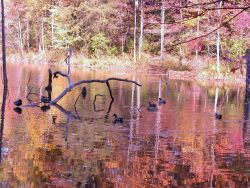 Mallard ducks floating on a reflecting cove of Clopper Lake. Photo
