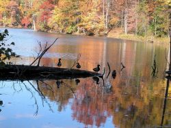 Mallards perching on a fallen tree on Clopper Lake on an autumn afternoon. Photo