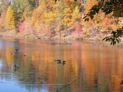 Mallards and Canada geese in a quiet cove of Clopper Lake Photo