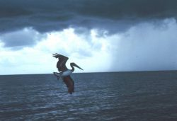 An offshore rain shower and a soaring pelican off the beach at Boca Raton. Image