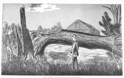 An elm tree, more than twenty feet in circumference, felled by the tornado of August 9, 1878 Image
