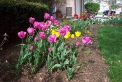 Glorious tulips on a glorious spring day. Photo