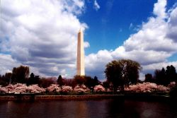 The Washington Monument seen rising above the Tidal Basin cherry blossoms. Photo