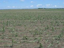 Hail damage to corn crop from storm of June 24. Photo