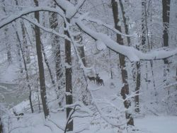 A winter wonderland of snow, trees, deer,and a frozen pond just prior to the two great snowstorms of February 2010 Image