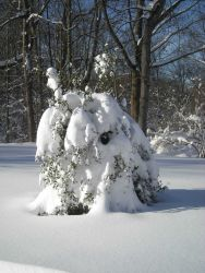 A holly tree bent over by the weight of wet snow. Image