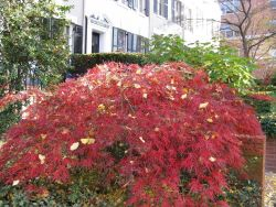 Japanese maple with red leaves in late fall Photo