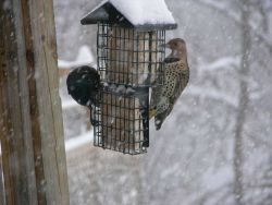 Starling on left and northern flicker on right during the great December 2009 snowstorm of the Mid-Atlantic states. Photo