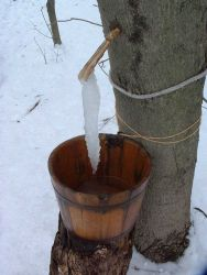 Maple tree sap collection Photo