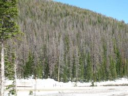 A hillside of beetle-killed pine in the Cameron Pass area of Colorado Image