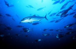 Amberjack are a common sight on Carolina artificial reefs Image