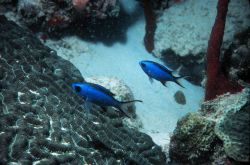 Blue chromis use corals for refuge from larger predators Photo