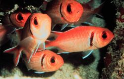 Blackbar soldierfish huddle within a coral reef nook Photo