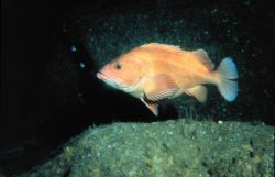 Yelloweye rockfish, Sebastes ruberrimus, is a species in a common genus of Pacific rockfish. Photo