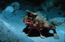 Bat-fish, wearing too much make-up, poses to intimidate Photo