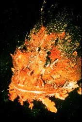 Scorpionfish's ugly visage allows it to hide in northern seaweed beds Photo