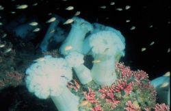 Sea anemones festoon a rocky outcrop off Alaska. Photo