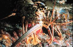 Spiny lobster, unlike its northern relative, has no big crusher claw Photo
