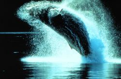 Humpback whales can leap clear out of the water Photo
