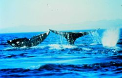 Humpback whales often flap their tails or fins on the water surface Photo