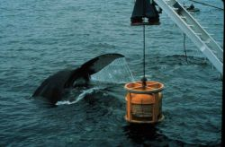 Humpback whale is attracted to an ROV, or undersea robot Photo