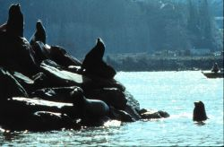 California sea lions bask in the sun, Photo