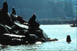 California sea lions bask in the sun, Photo