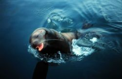 Sea lion rises to bark at a research vessel. Photo