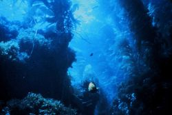 Kelp beds are extremely complex and critical marine habitats Photo