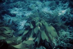 Macroalgae come in many shapes and sizes, from microscopic to tens of meters. Photo